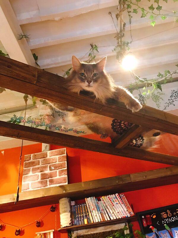 猫音のネコが天井から覗き見